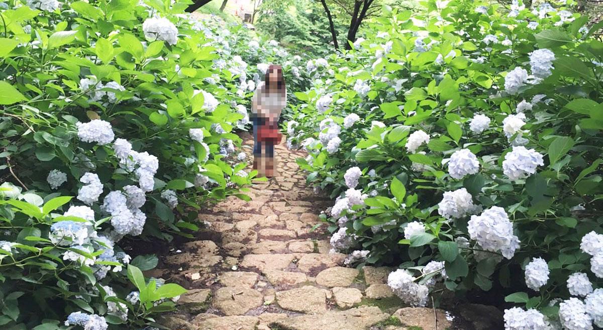 桜の園 森のアトリエ 石段の紫陽花