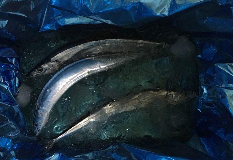 旬の獲れたて秋刀魚