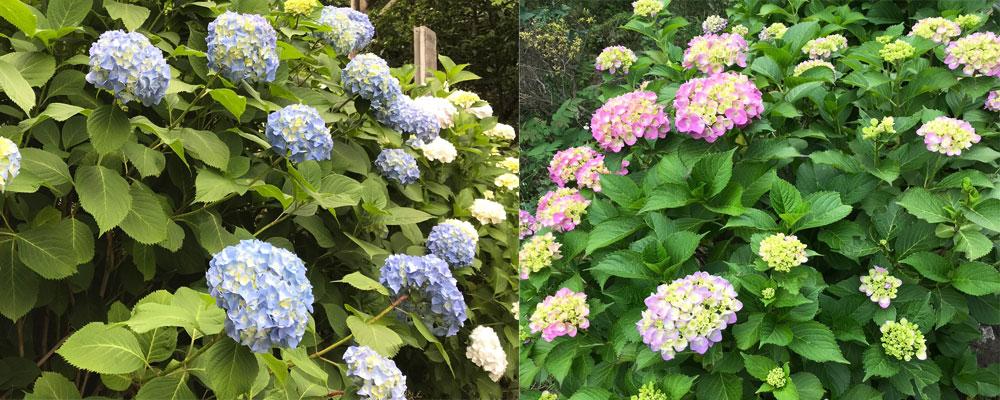 泉の森 紫陽花