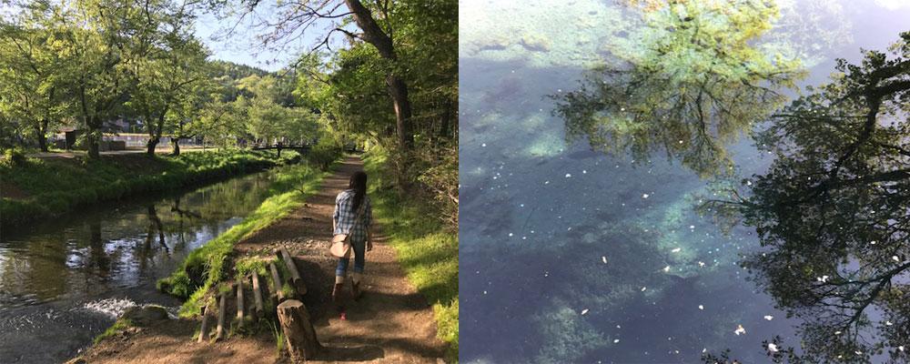 忍野八海散歩と湧水池