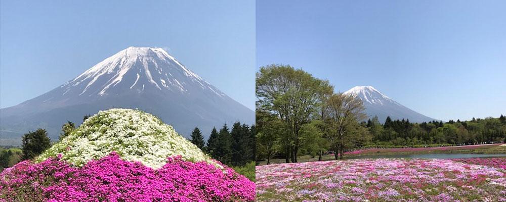 富士山と芝桜の富士山