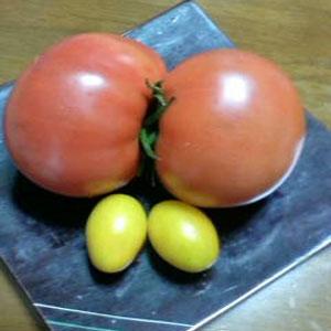 ヘンテコおもしろトマト