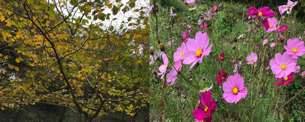 秋らしく色づいた葉とコスモス