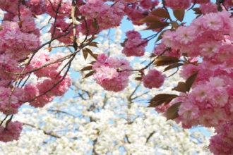 桜 花粉 ものもらい