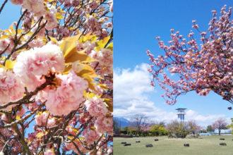 甲斐市 八重桜