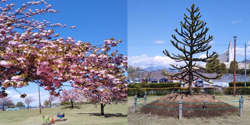 甲斐市 八重桜と公園遊具
